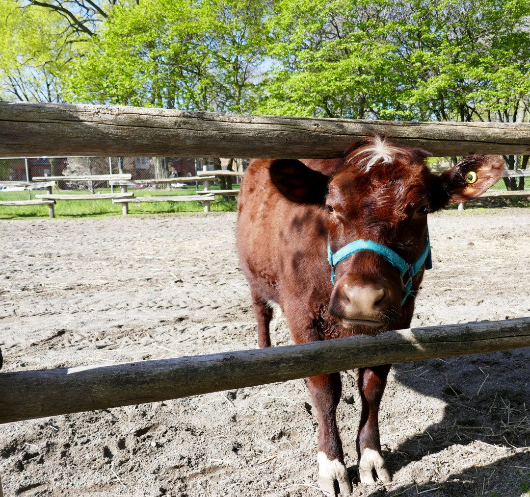 Cow in Riverdale Farm in Cabbagetown for boomervoice