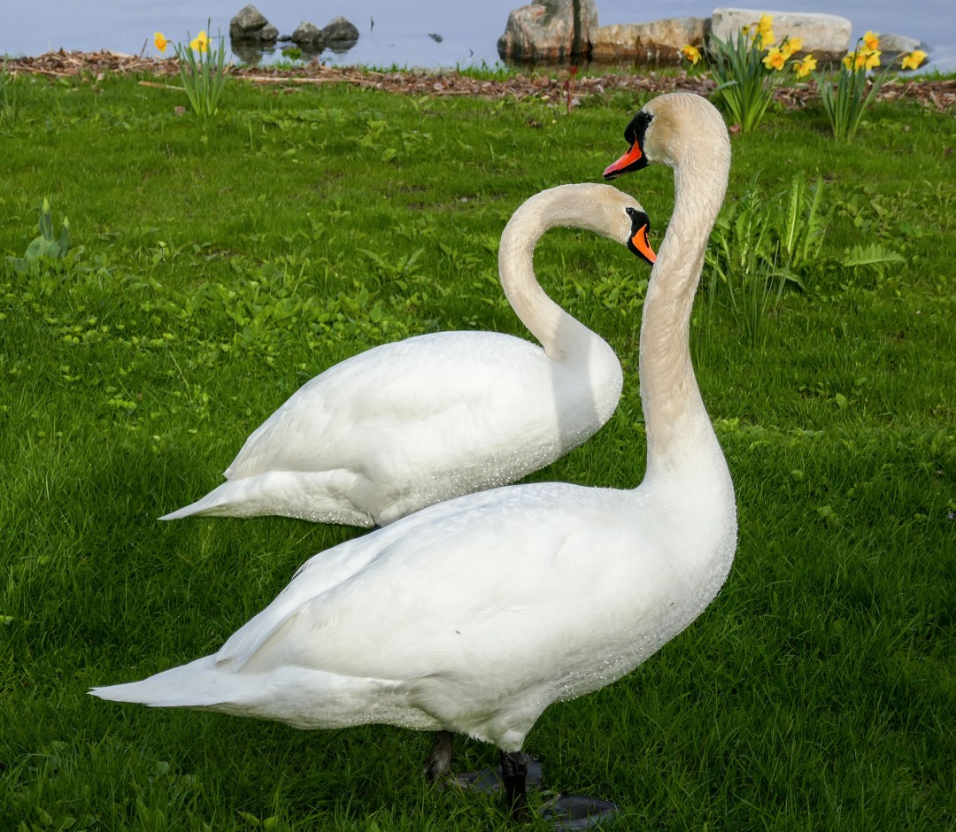 Swans on lawn in Brighton for bomervoice