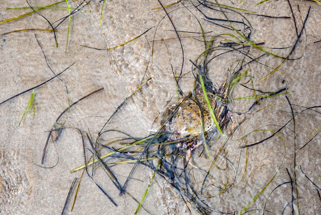 Crab in water at Arisaig for boomervoice
