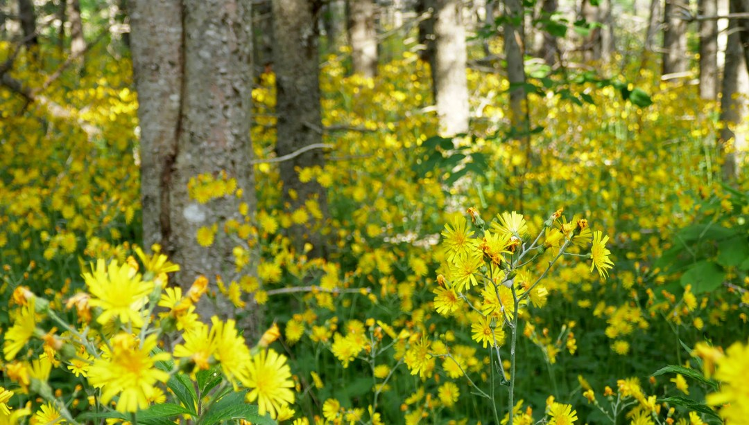 Yellow forest in Arisaig Provincial Park for boomervoice