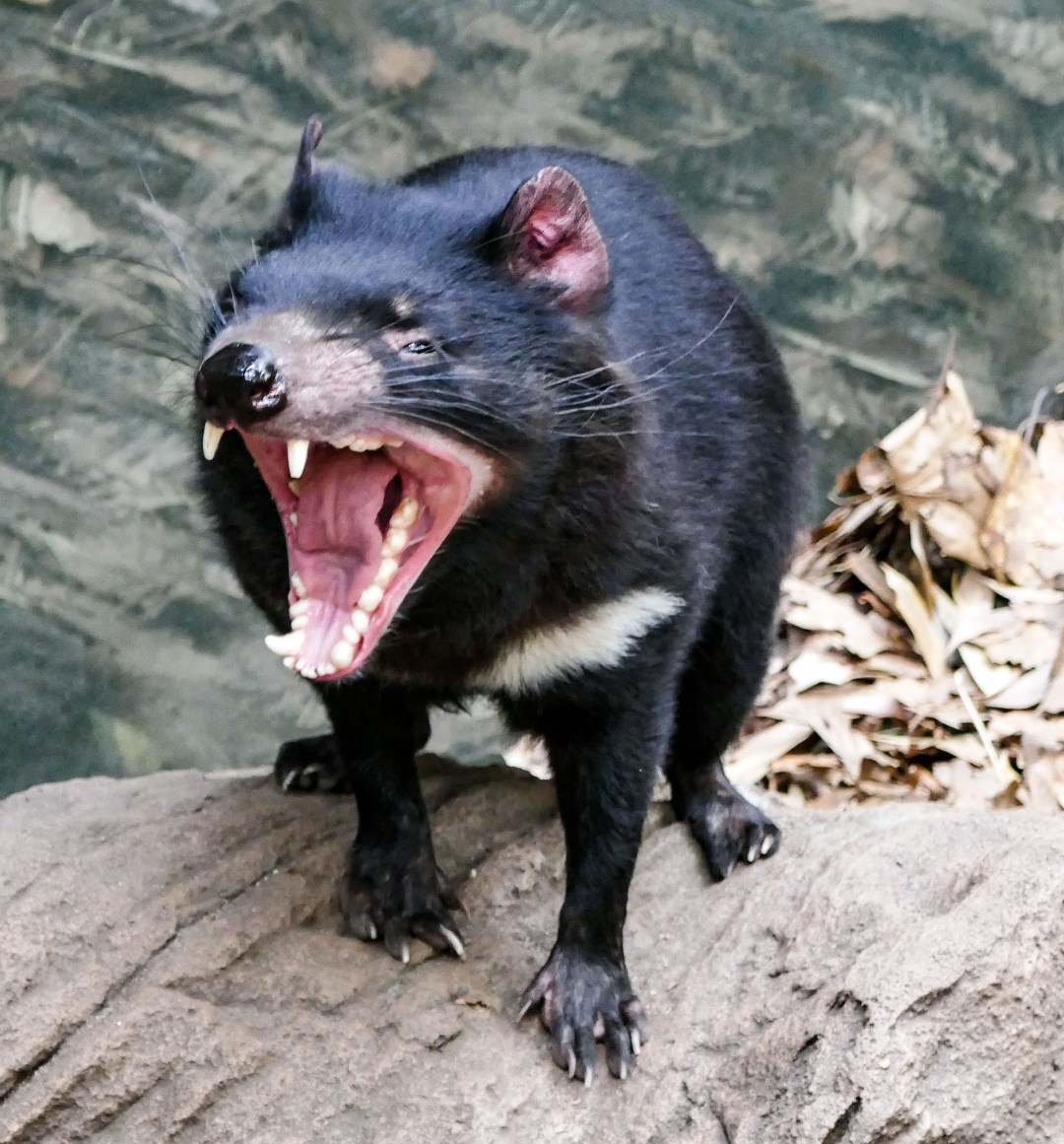 Fierce Tasmanian devil at Sydney Wildlife Zoo for boomervoice