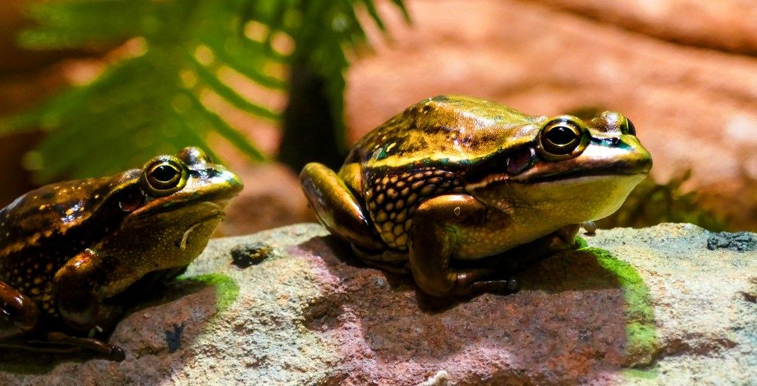 Frogs at Sydney Wildlife Zoo for boomervoice