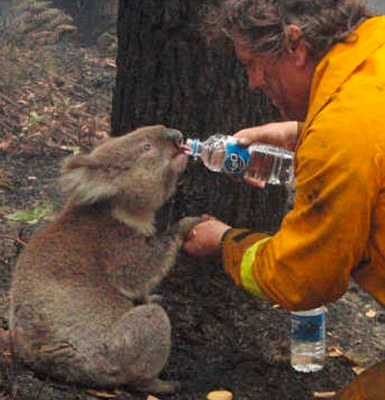 A koala named Sam receives water from Country Fire Authority volunteer fire fighter Dave Tree after being rescued from the Victorian bushfires in the area of Mirboo North, about 120km (75 miles) southeast of Melbourne, in this February 8, 2009 file photo. Sam, who won the hearts of the world when video footage of her rescue from Australia's deadly bushfires six months ago hit the internet, died on August 6, 2009 after losing a second battle for survival. REUTERS/Courtesy of the Department of Sustainability and Environment/Mark Pardew/Files (AUSTRALIA DISASTER ENVIRONMENT SOCIETY ANIMALS) FOR EDITORIAL USE ONLY. NOT FOR SALE FOR MARKETING OR ADVERTISING CAMPAIGNS. BEST QUALITY AVAILABLE