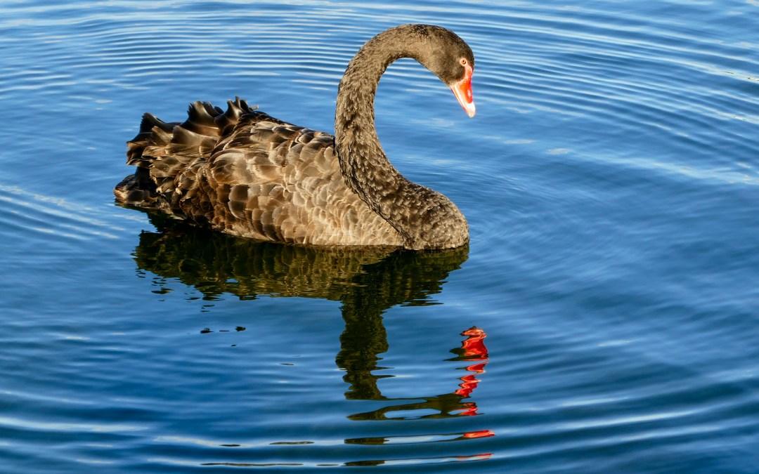 Discover Wonderful Rotorua in New Zealand: A Black Swan Event