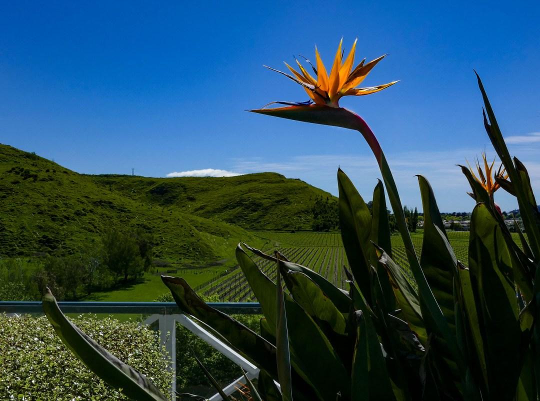 Overlooking the vineyard in Napier New Zealand for boomervoice
