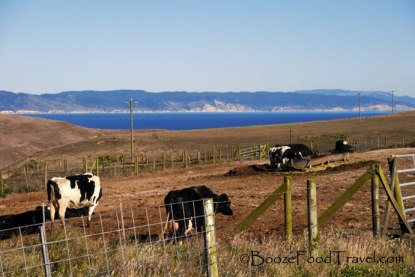 There are a lot of dairy farms along the coast