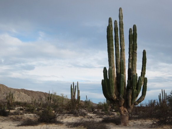 Experience the ancient majesty of the giant cardon cacti in The Valley of the Giants.