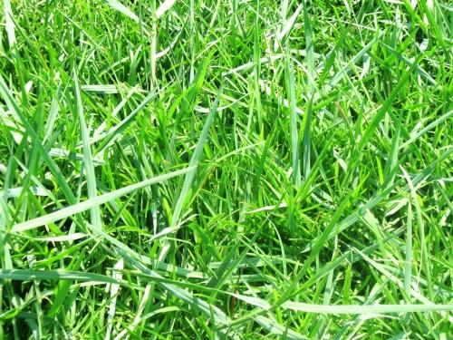 Medium Of Bermuda Grass Killer