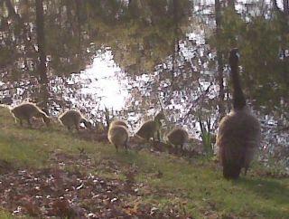 boston esplanade geese