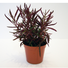 Alternanthera Red Thread