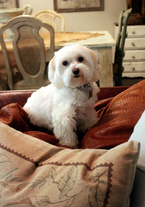 Sherman the Maltese #rescuedog