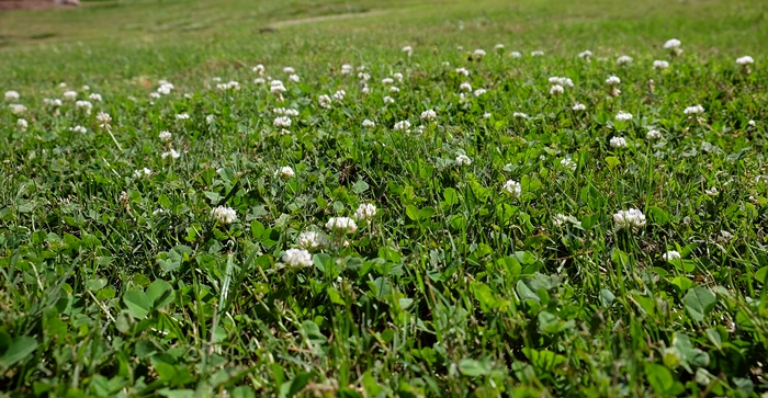 Eight Reasons to Plant a Clover Lawn: Adventures in Sustainable Suburbia