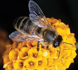 Bee on Buddleia globosa