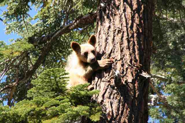 bear cub mammoth lakes