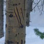 bear claw marks snowmass