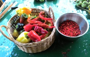 Picked Peppers for Pickling on Nov 6