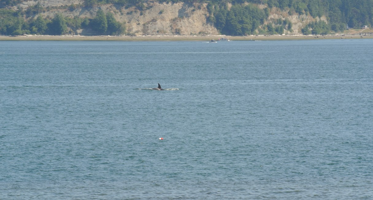 Orca swimming in Saratoga Passage