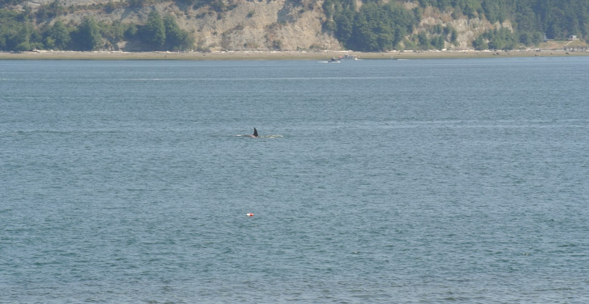 Orcas swimming rapidly through Saratoga Passage between Whidbey and Camano Islands