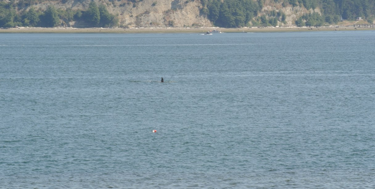 Orca swimming through Saratoga Passage going under water