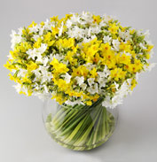 Scented Narcissi from Isles of Scilly Flowers