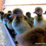 Learning to Raise Ducks Organically
