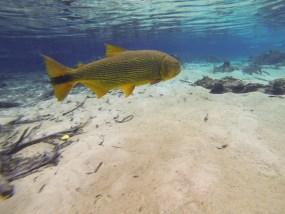 Flutuando ao lado de um enorme Dourado