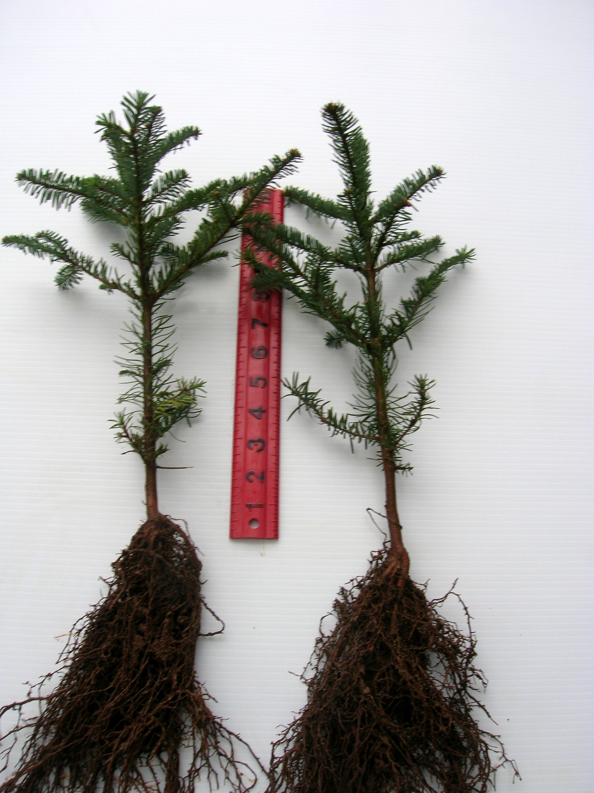 Fullsize Of Pine Tree Seeds