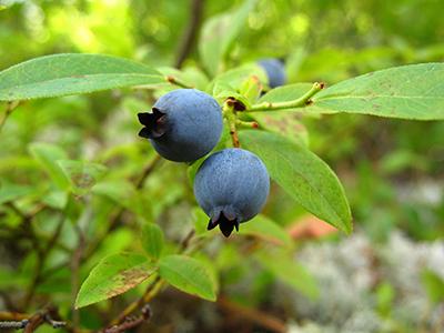 Bruce Miller Nursery Bluberries