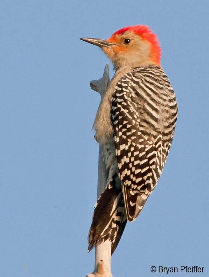 Red-bellied Woodpecker /  © Bryan Pfeiffer