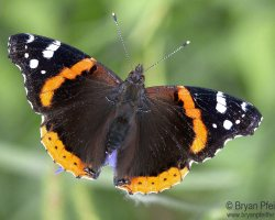 Red Admiral (Vanessa atalanta), as you mostly know it.
