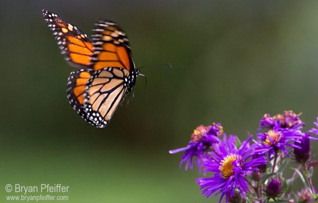 monarch-flight-2