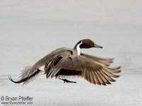 Northern Pintail / ©Bryan Pfeiffer