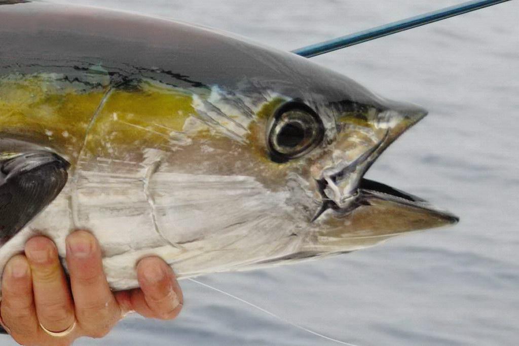 Ywllofin tuna