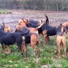 farmers bloodhounds
