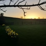 My Sunday Photo – daffodils and sunset