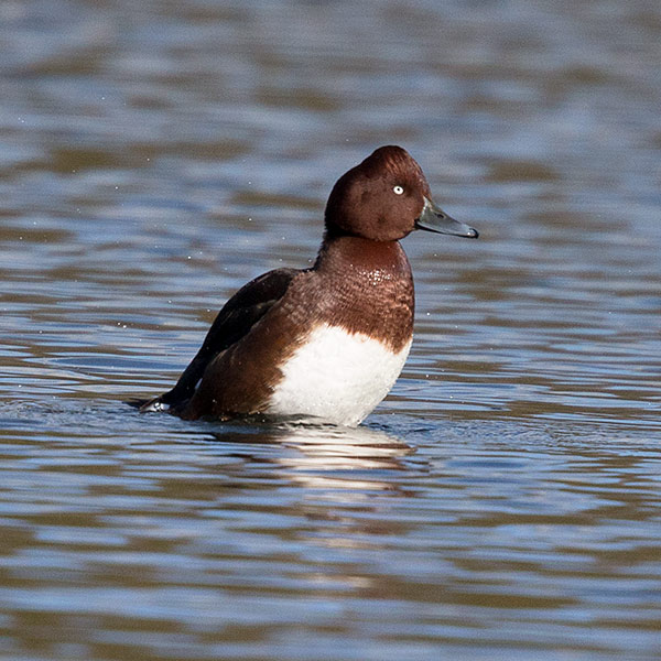 Ferruginous Duck 3