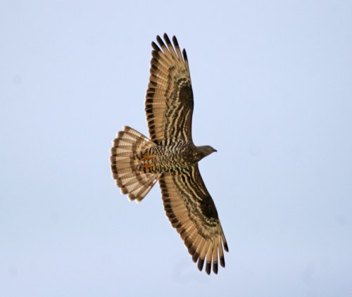 honeybuzzard