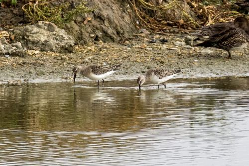 Curlew Sandpipers-2