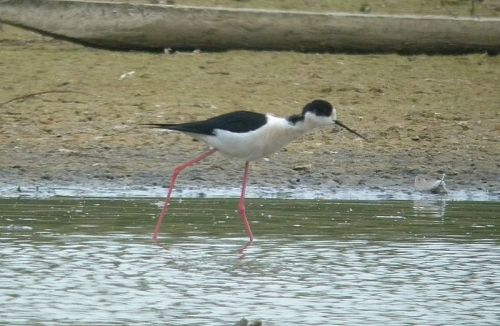 dscn8917-black-winged-stilt