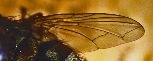 Tachinid Fly Wing Venation