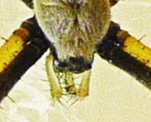 Araneidae: yellow garden spider (Argiope aurantia; Lucas, 1833); dorsal head and pedipalps; Joy R., San Antonio, TX--19 Jul 2010