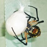 083110 072837 Araneidae: yellow garden spider (Argiope aurantia); female with egg sac; Amy P., Ponder TX