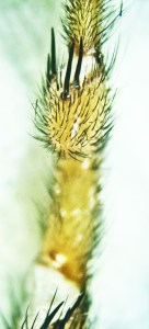 Cyrtaucheniidae: Myrmekiaphila; ventral metatarsus; Dave P., Cresson, TX---3 Mar 2011