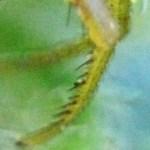 Thomisid Crab Spider female: left leg 1 metatarsus & tarsus; Regina Weishuhn, Grand Prairie, TX --- 16 April 2012