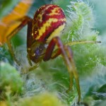 Thomisid Crab Spider female: frontodorsal habitus; Regina Weishuhn, Grand Prairie, TX --- 16 April 2012