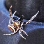 Salticidae: Bagheera male; Katie Baker, Blanco, TX; 26 NOV 2012 --- frontodorsal habitus