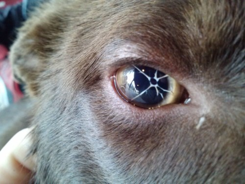 Medium Of Dogs Eyes Are Red