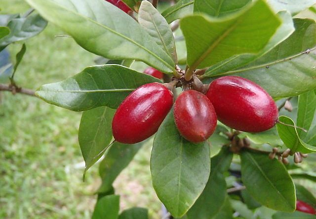 The Miracle Berry. Photo courtesy of user Hamale via  Wikimedia Commons