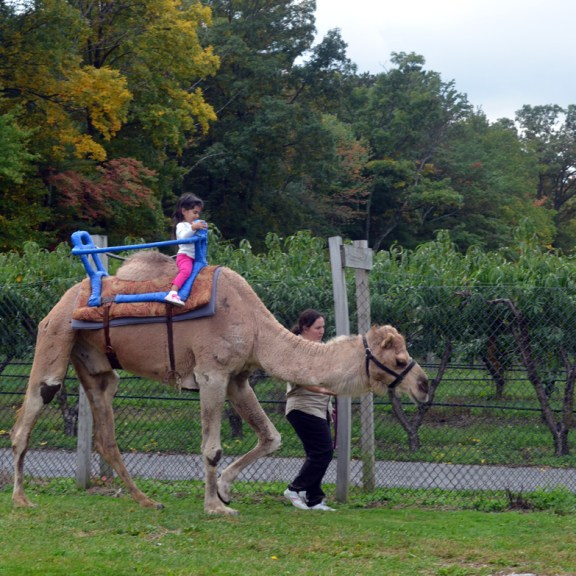 Always dreamed of riding a camel but can't pitch in for the flight to India? Look no further, Lookout Farms has its very own camel rides!
