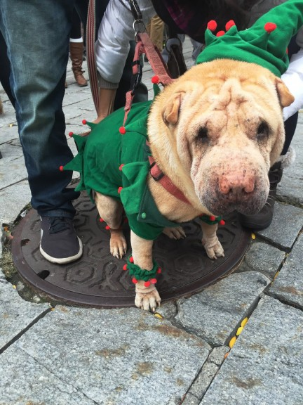 Bob, a shar pei, is ready for Christmas early this year. | Photo by Siena Tauber